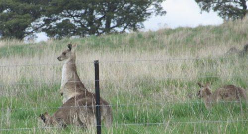1_act_strathnairn_neighbours_kangaroos-cropped